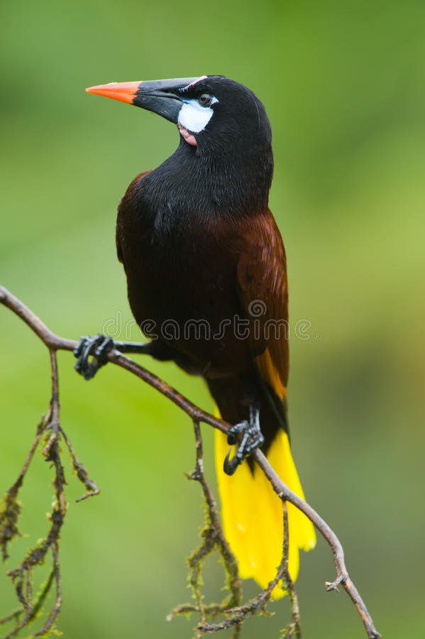 Montezuma Oropendola fotos de stock royalty free