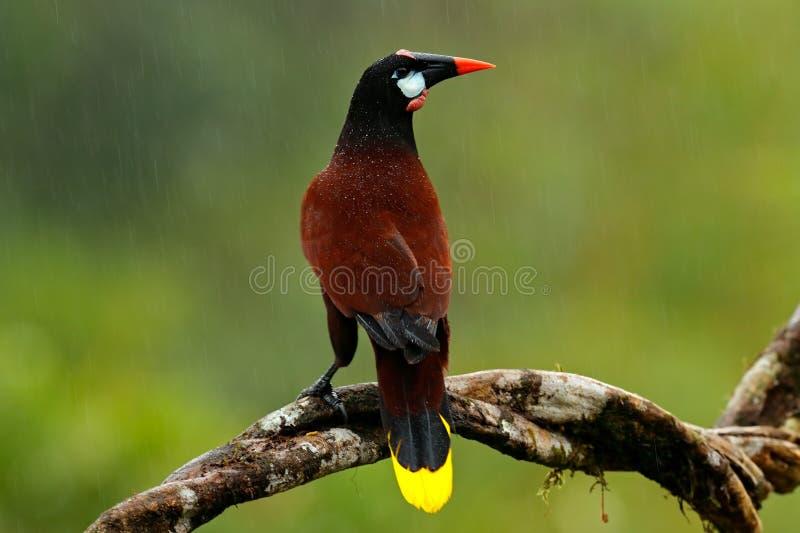 Montezuma Oropendola, Psarocolius-montezuma, portret van exotische vogel van Costa Rica, bruin met zwarte hoofd en oranje rekenin royalty-vrije stock afbeelding