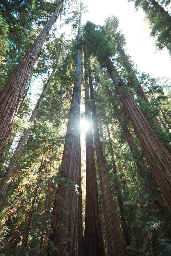 Montgomery Woods ist zu den enormen alten und neuen Bäumen Haupt lizenzfreies stockfoto