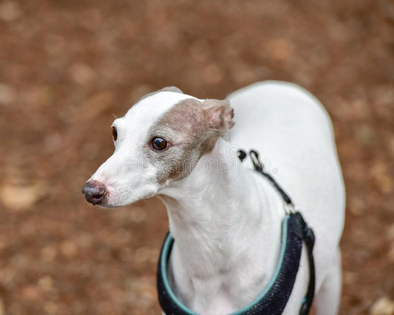 Young Italian Greyhound Puppy playing in the dog park stock photos