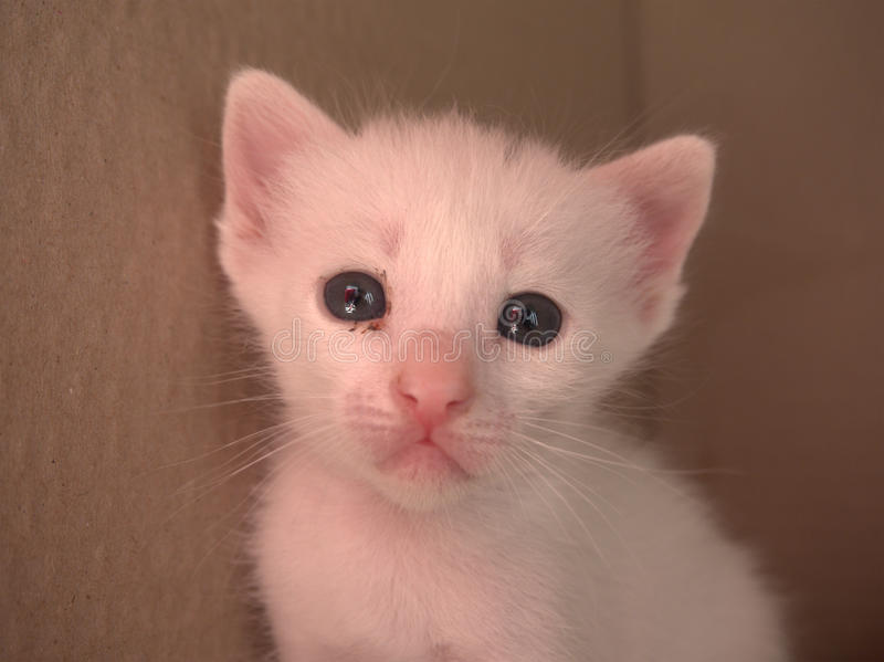 1 Month White Baby Kitten stock image