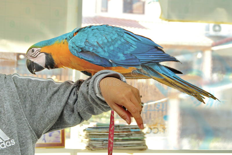 3 Months Blue and Yellow Macaw lovely bright children`s emotions. 3 Months male blue and yellow macaw parrot in house. The birds stretch wings on arm ,The royalty free stock photos