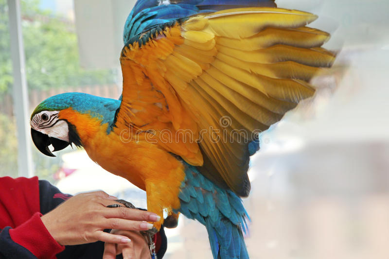 5 Months Blue and Yellow Macaw lovely bright children`s emotions. 5 Months male blue and yellow macaw parrot in house. The birds stretch wings on arm ,The royalty free stock photos