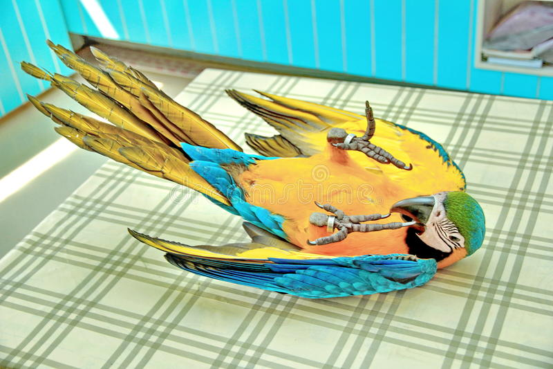 3 Months Blue and Yellow Macaw lovely bright children`s emotions royalty free stock image