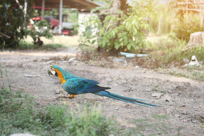 5 Months male blue and yellow macaw parrot in country. 5 Months male blue and yellow macaw parrot in country with the light of the morning sun. Selective focus royalty free stock image