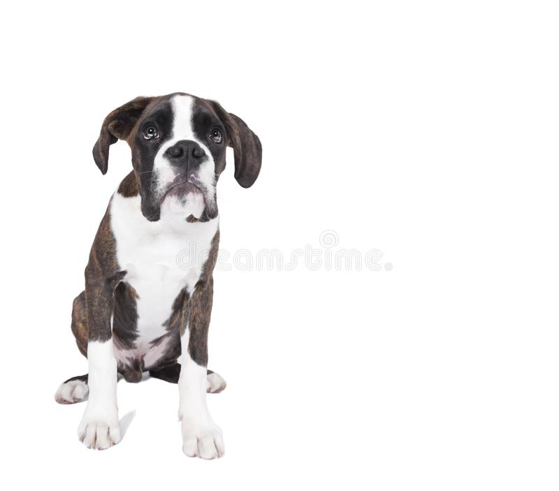 Boxer puppy sitting royalty free stock photo