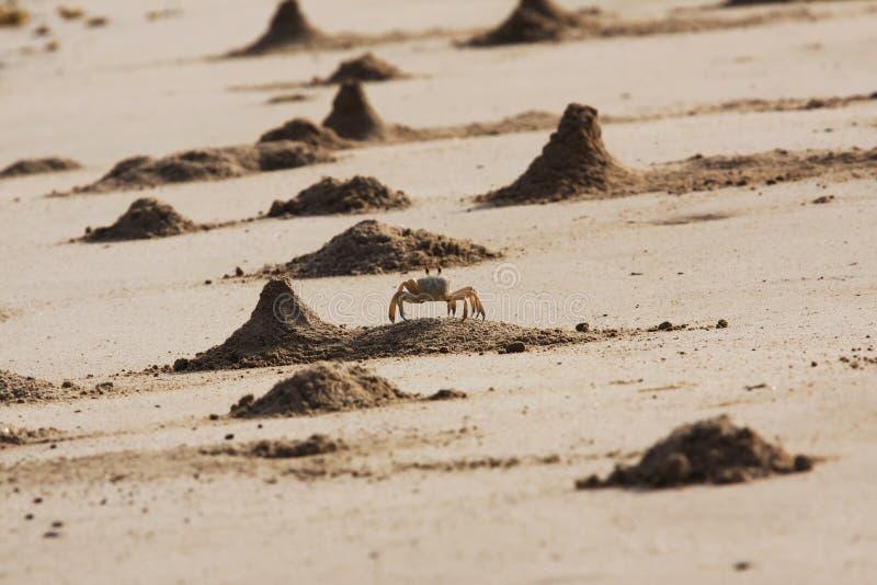 Monticelli del granchio del fantasma fotografia stock