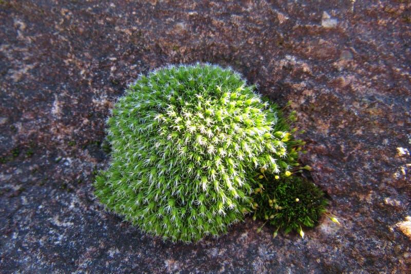 Monticule de mousse verte sur une roche photos libres de droits