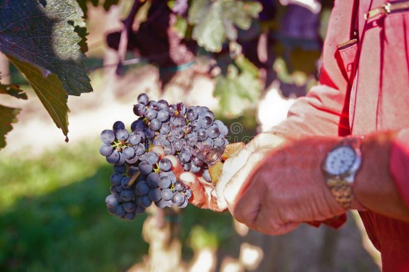 Montieren der besten Weintrauben lizenzfreie stockfotos