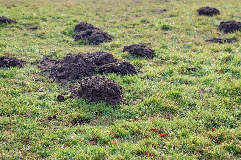 Montinhos de terra frescos na grama orvalhado do fim imagem de stock royalty free