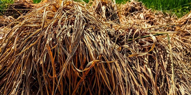 Montones de la paja en el ricefield foto de archivo