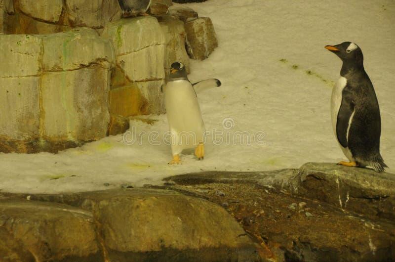 Montréal Biodome zwei Pinguine auf Schnee und Felsen stockfotografie