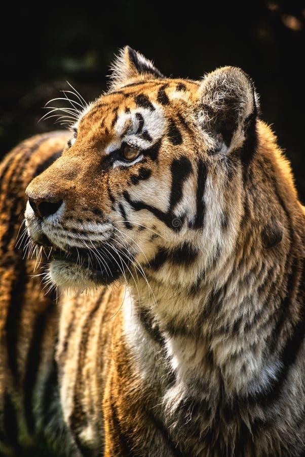 Montre prédatrice fâchée de portrait de tigre image stock