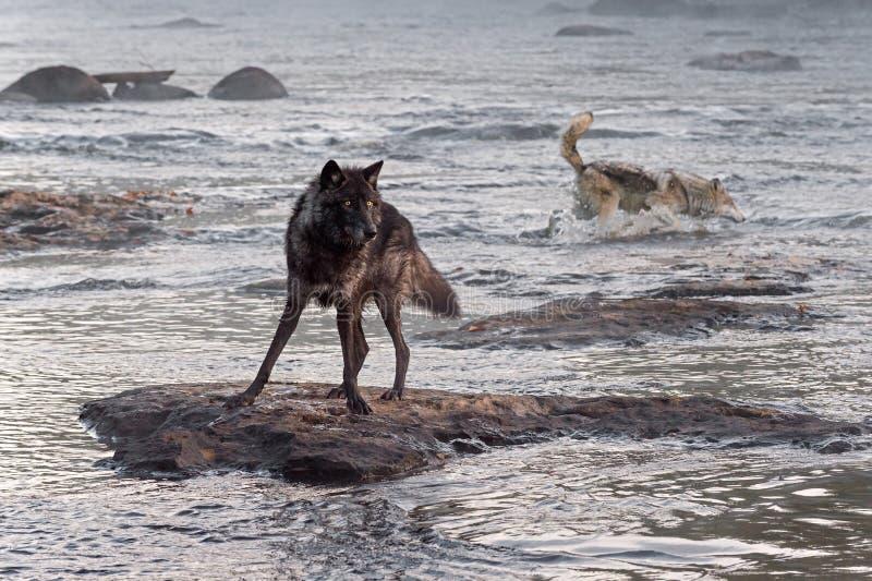 Montres de Grey Wolf (lupus de Canis) tandis qu'un autre éclabousse derrière image stock