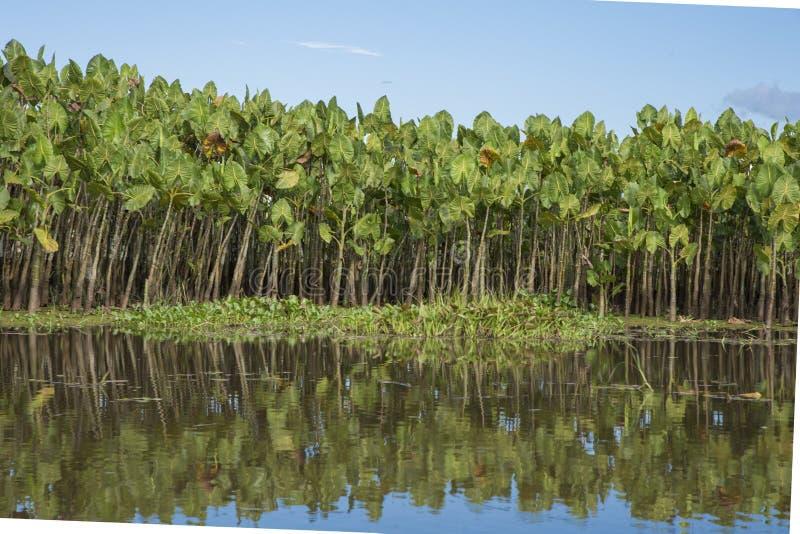 Montrichardia emergente qlinifera, Kaw Marshes, F fotografie stock
