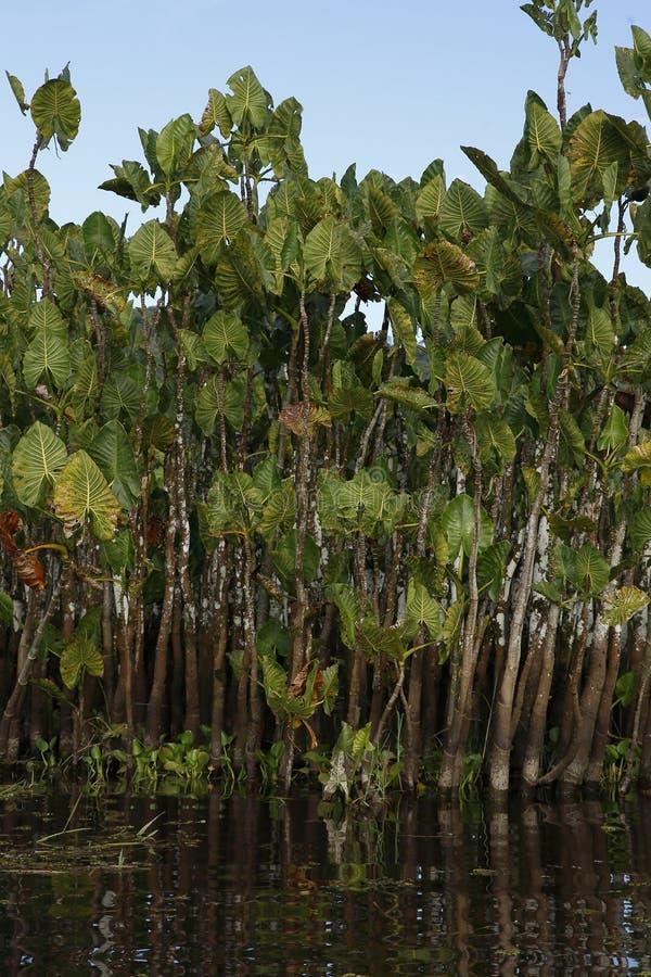 Montrichardia emergente qlinifera, Kaw Marshes, Guiana francese, Francia fotografia stock