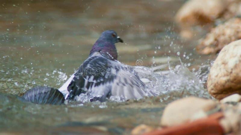 Montrous wels sum czekać na gołębie i innych zdobycze w płytkiej wodzie w Albi w południe Francja fotografia royalty free