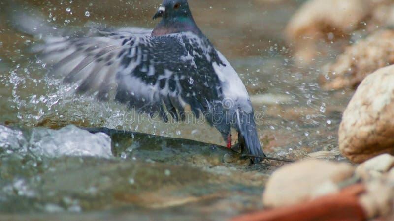Montrous wels sum czekać na gołębie i innych zdobycze w płytkiej wodzie w Albi w południe Francja zdjęcie stock