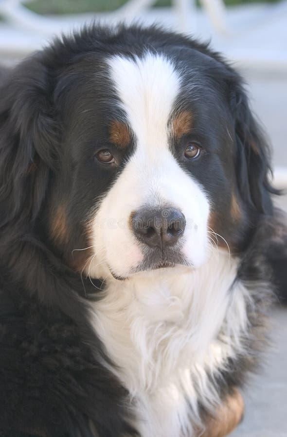 Monty Der Gebirgshund Stockfotos