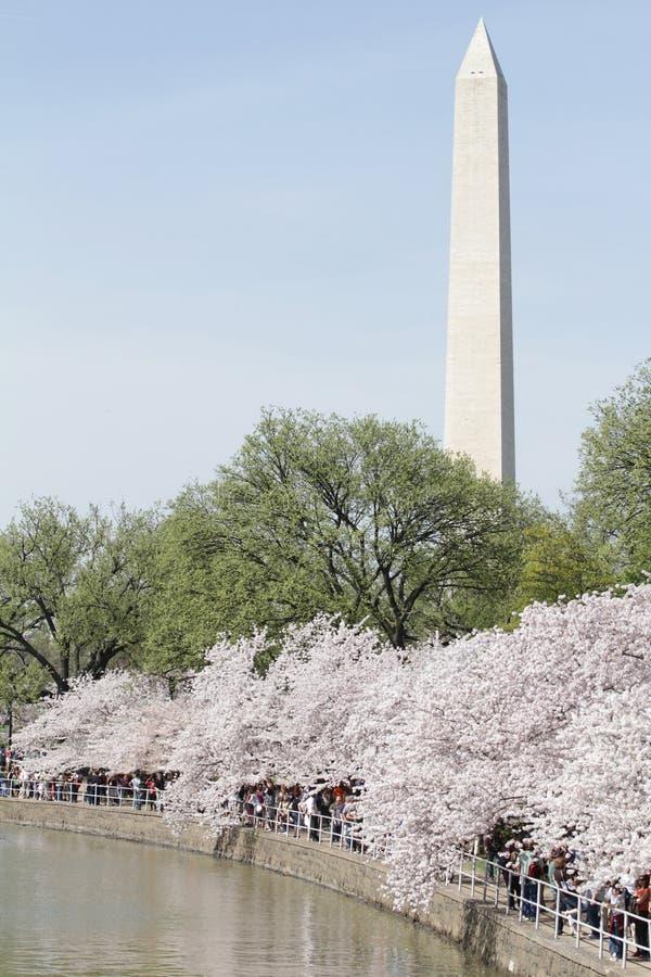 Monument de Washington, C.C : Fleurs de cerise photo libre de droits