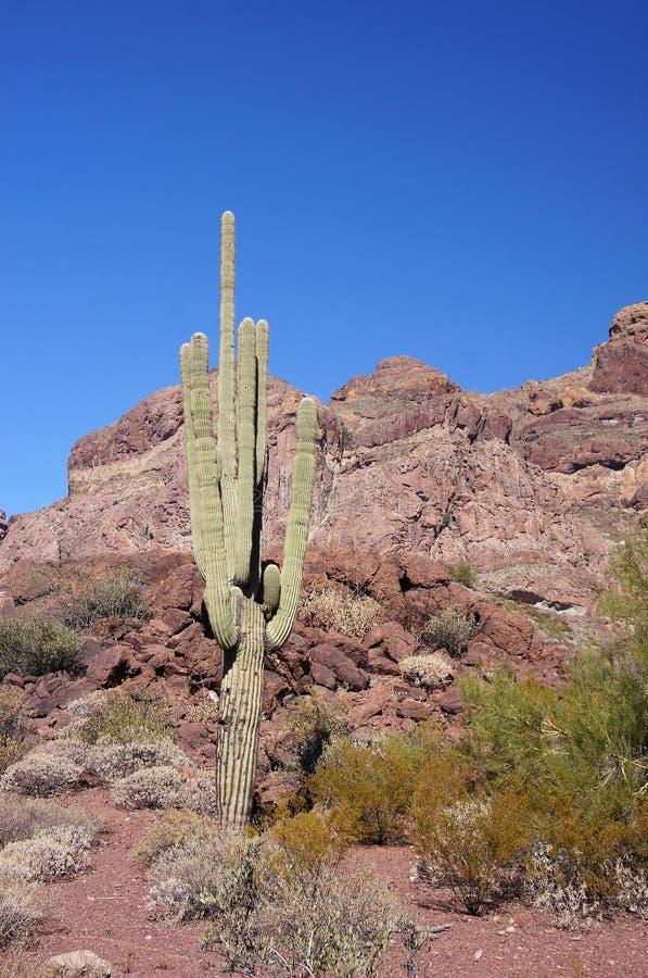 Monument för kaktus för organrör nationell, Arizona, USA royaltyfri fotografi