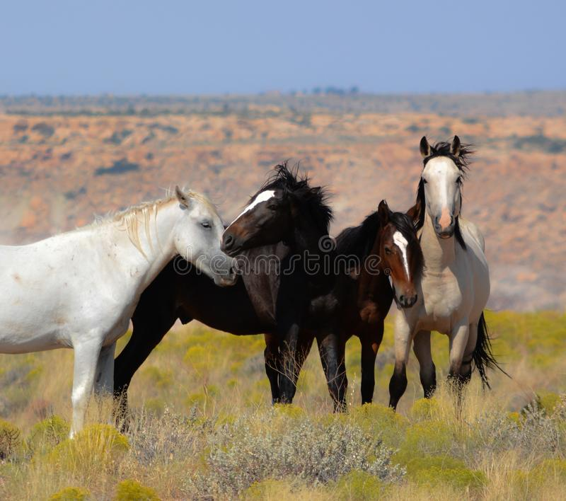 Wild Mustangs on Ute Indian Reservation. American Indian Reservation of the Ute Indian with four wild mustangs standing in a field looking at the camera as the royalty free stock image