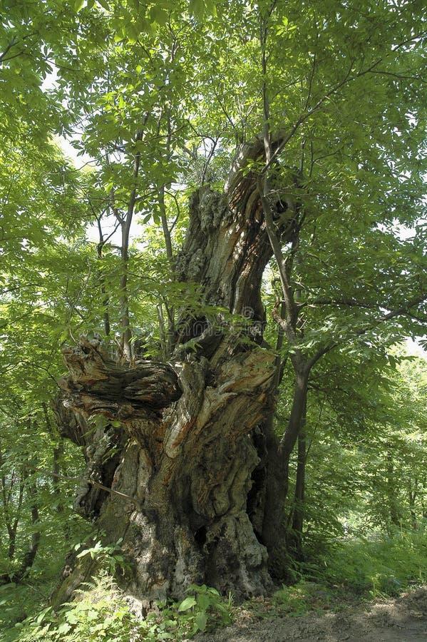 Monumental tree royalty free stock photos