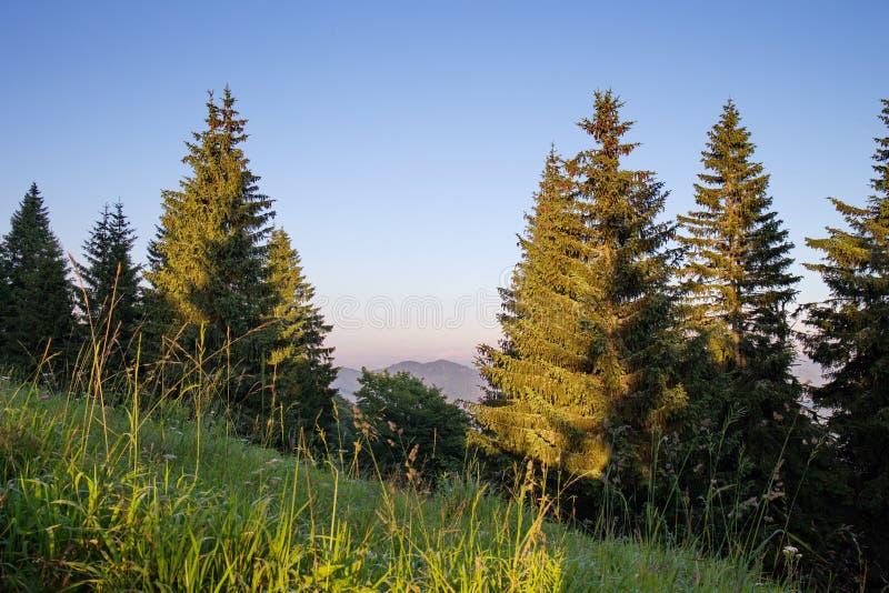 Monumentala gamla granar i nationalpark i sommaraftonen, idyll med blå himmel och gröna träd i solnedgångljus arkivfoto