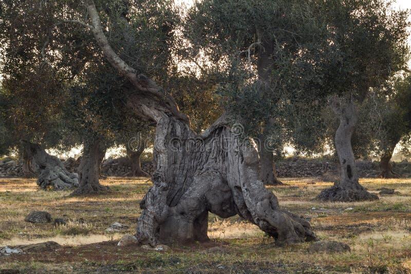 Monumentala Olive Tree Illuminated vid solnedgång arkivfoto