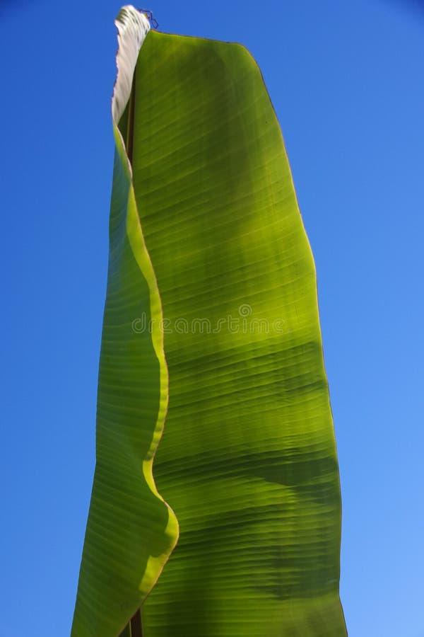 Monumentalny enigmatyczny bananowy liść fotografia stock
