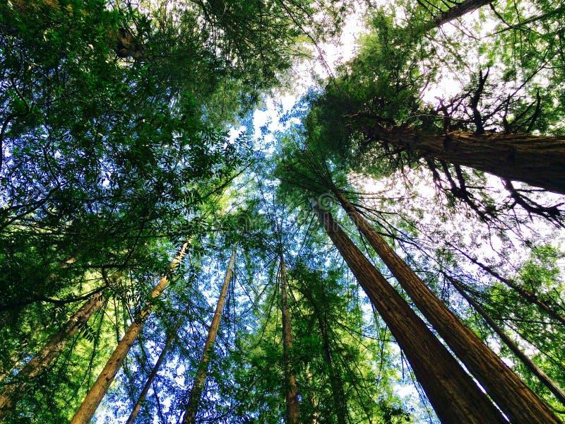 Monumento de Muir Woods National fotos de archivo