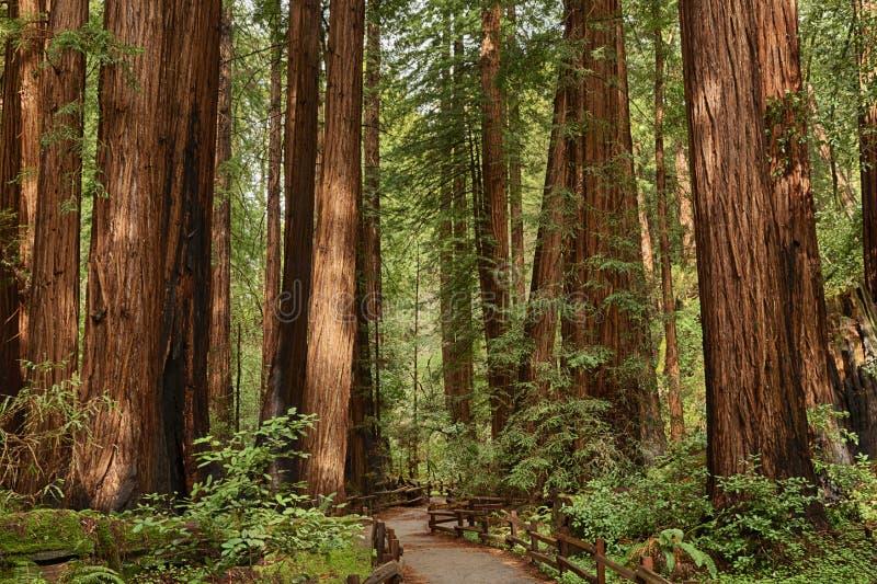 Monumento de Muir Woods National imagem de stock
