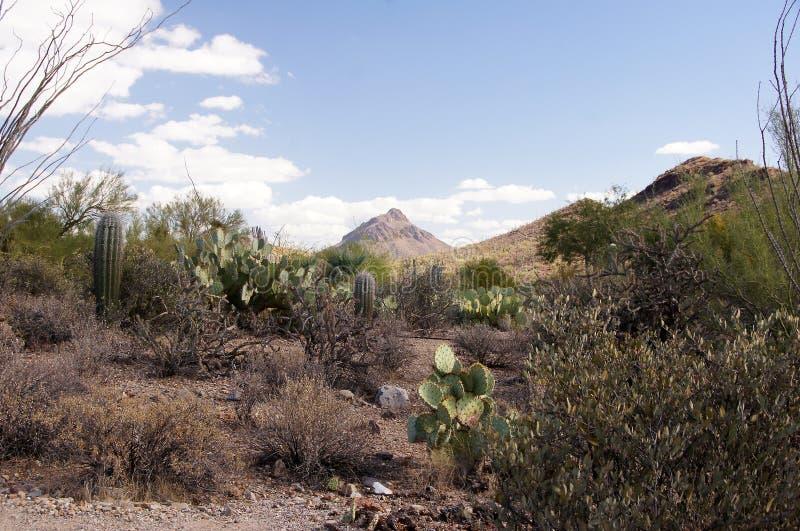 Monumento nacional del cactus del tubo de órgano, Arizona, los E.E.U.U. fotos de archivo libres de regalías