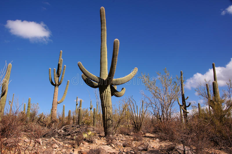 Monumento nacional do cacto da tubulação de órgão, o Arizona, EUA imagens de stock royalty free