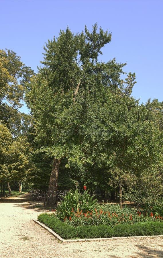 Monumento natural botánico - biloba del Ginkgo - en el parque nombrado después de M Gorki en la ciudad de Taganrog, región de Ros imagen de archivo
