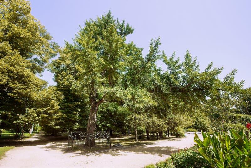 Monumento natural botânico - biloba da nogueira-do-Japão - no parque nomeado após M Gorky na cidade de Taganrog, região de Rostov fotos de stock royalty free