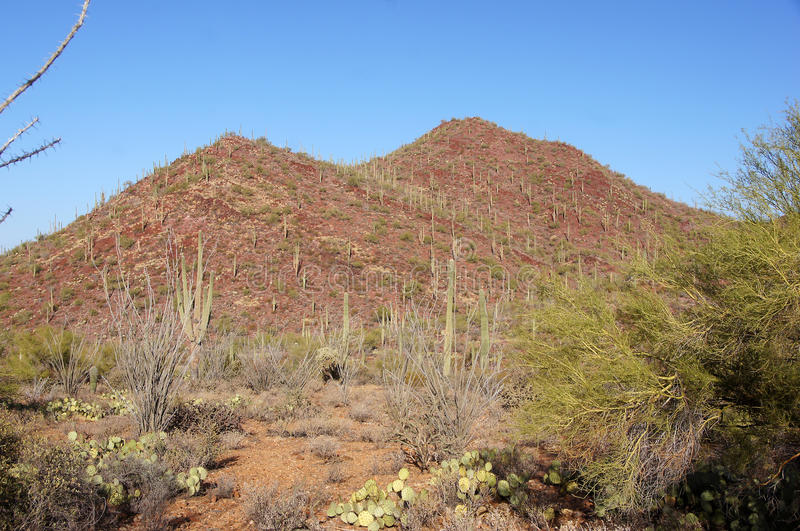 Monumento nazionale del cactus della canna d'organo, Arizona, U.S.A. immagini stock libere da diritti