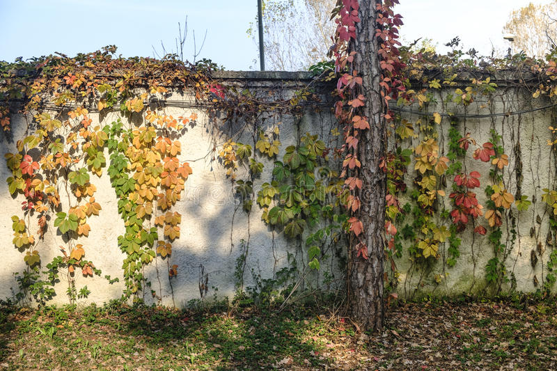 Monza Italy: the park at fall. Monza Brianza, Lombardy, Italy: the park at fall october, a wall with plants royalty free stock photo
