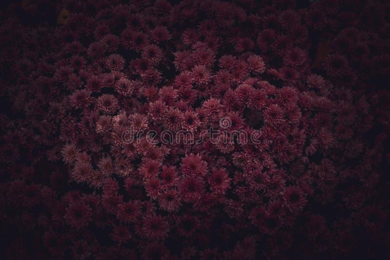 Moody Floral dark background. Mystical Deep red purple flower on black background. Backdrop, melancholic, tone, carnation, blurred, decorative, winter, above stock photo