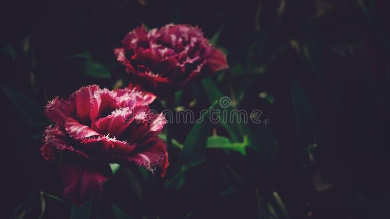 Moody Floral dark background. Mystical Deep red purple flower on black background. Backdrop, melancholic, tone, carnation, blurred, decorative, winter, above stock photos