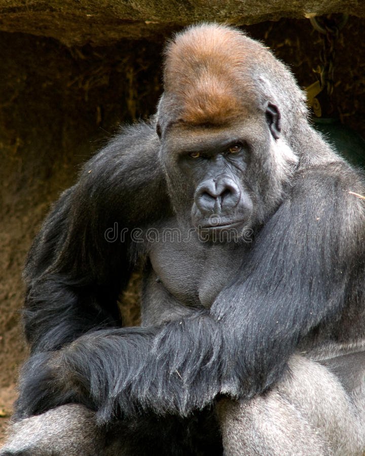 Free Moody Gorilla Royalty Free Stock Images - 12480129