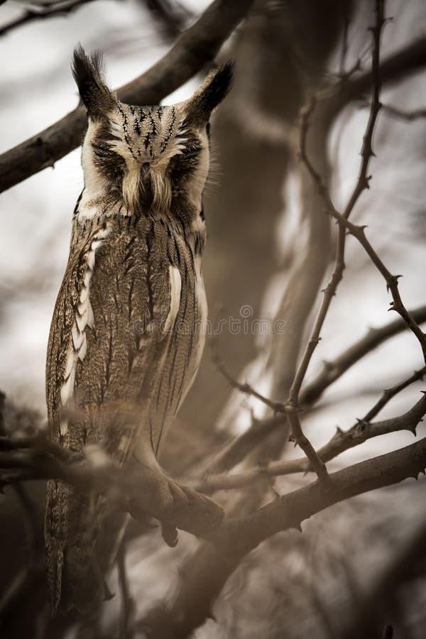 Moody_owl royaltyfri bild