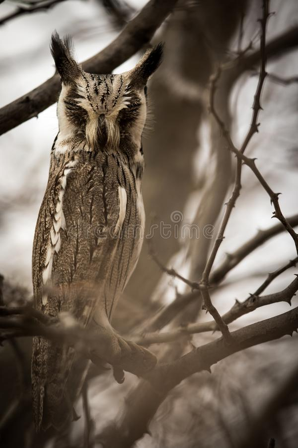 Moody_owl royalty free stock image