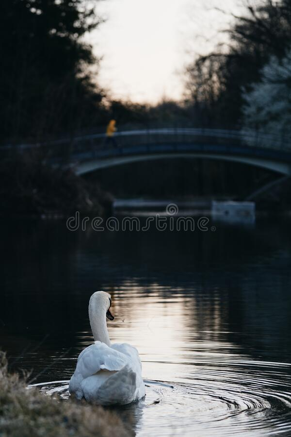 Moody romantic landscape with a white swan Cygnus cygnus on a river. Moody romantic landcape with a white swan Cygnus cygnus profile on a river with a bridge and royalty free stock images