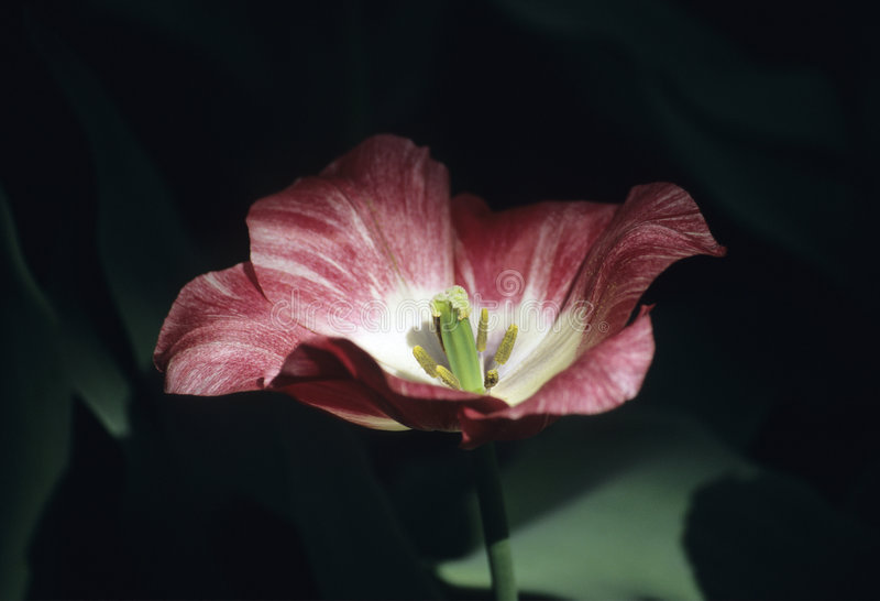 Moody Tulip in Shadow royalty free stock photo