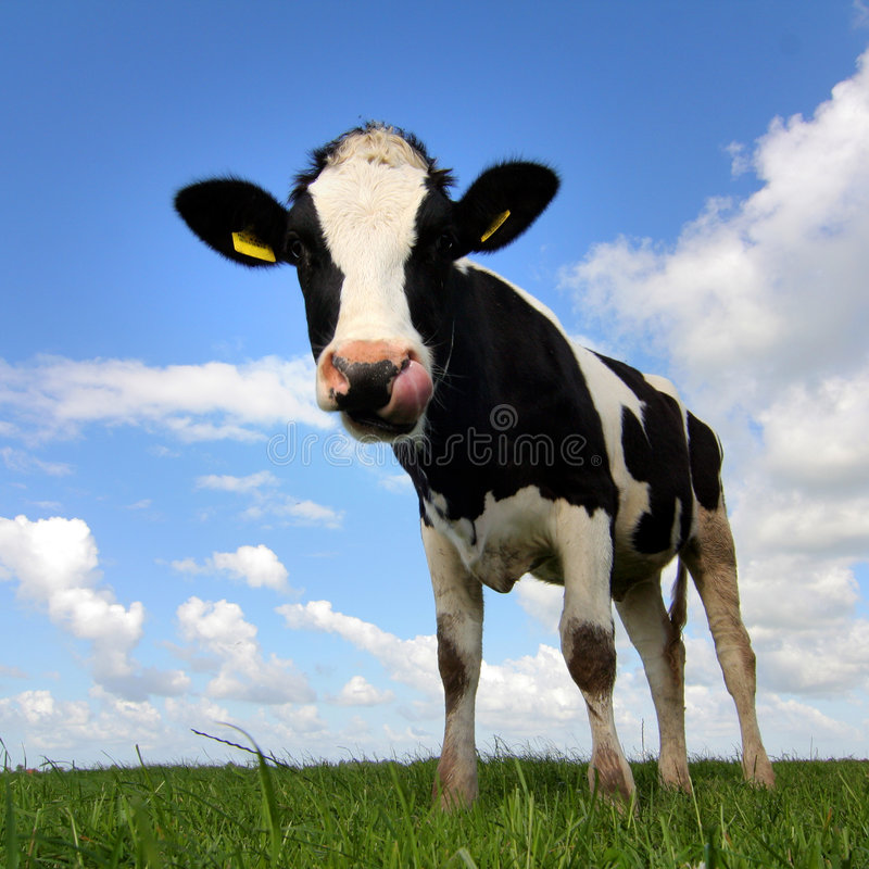 Download Mooh! stock image. Image of farm, expressive, funny, milk - 2706565