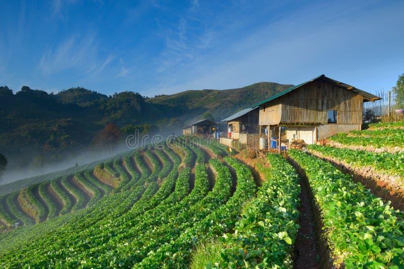 Mooi aardbeilandbouwbedrijf en Thais landbouwershuis op heuvel stock afbeeldingen