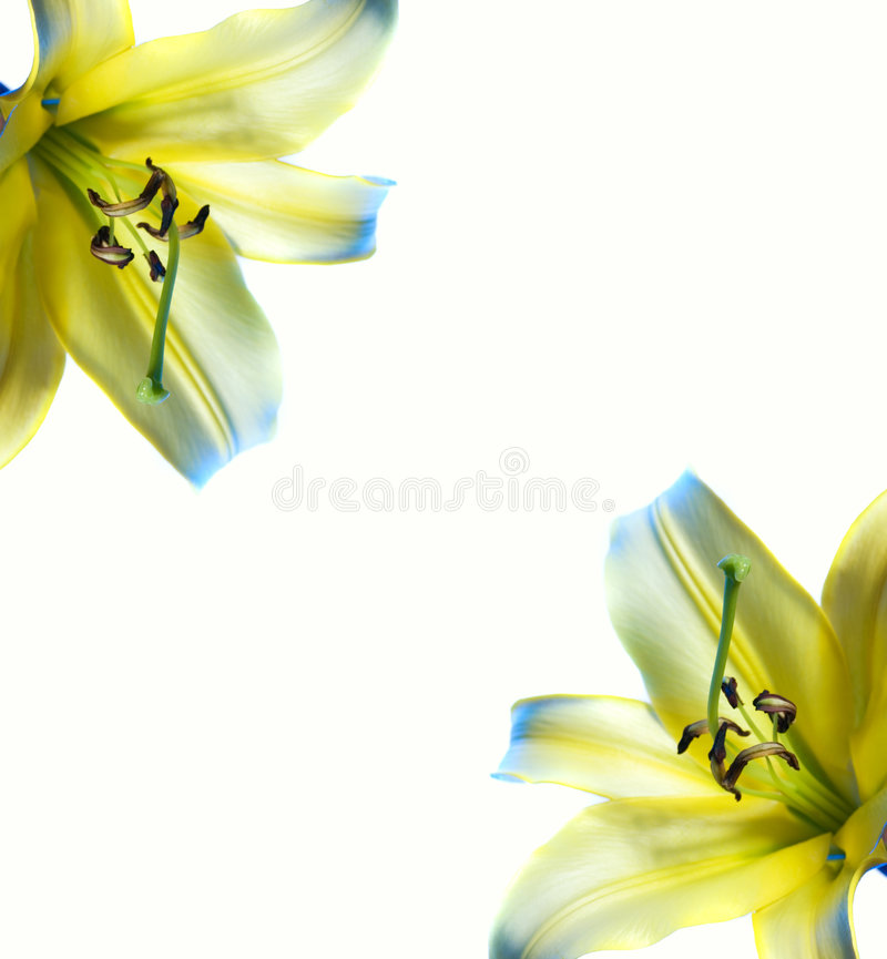 Mooi abstract lilly frame stock fotografie