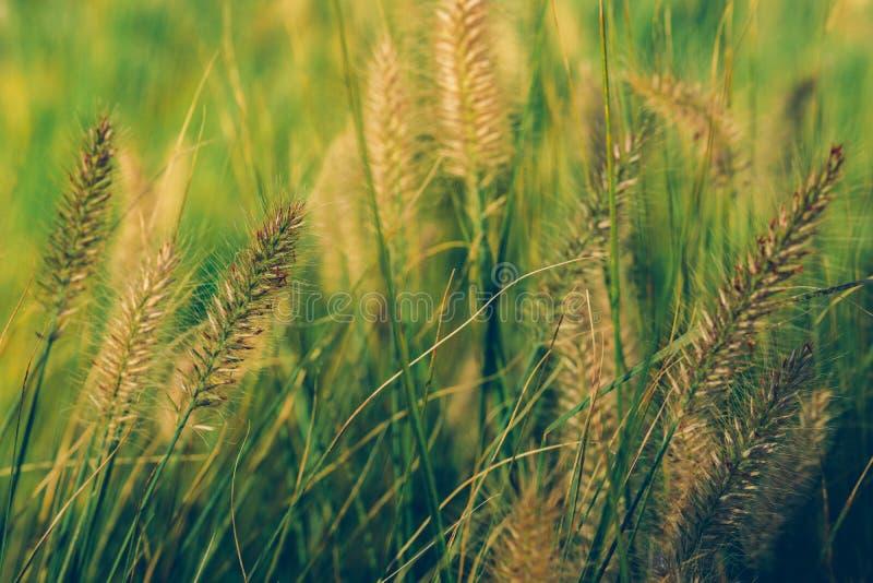 Mooi Afrikaans bloeiend het grasgebied van de fonteinbloem, het Gras van de de installatiefontein van de tuindecoratie royalty-vrije stock fotografie