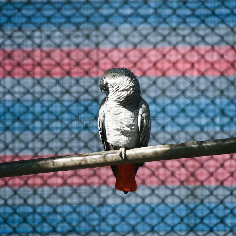 Mooi Afrikaans Grey Parrot royalty-vrije stock afbeelding